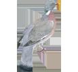 Image Pigeon ramier