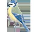 Image Mésange bleue